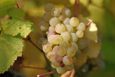 Vitis vinifera Riesling Wine Grape Seeds!