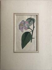 Handkolorierter Kupferstich Francis Sansom - Sydenham Edwards - Lilie Lily