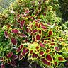 50Pcs Blumei Seeds Home Garden Colorful Flower Leaves Plant Decor Mix Colors