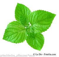 🔥  PERILLA grün * 50 Samen * SEHR SELTEN * Shiso * Gewürz Kräuter Gemüsepflanze