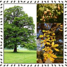 English/European Oak - Quercus robur (10+ viable seeds per package)