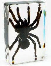Real Female Chinese Bird Spider Tarantula Insect Office Paperweight Specimen