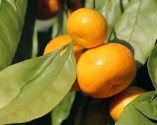 Essential Oil Mandarin Pure and Natural Top Quality 50 ML