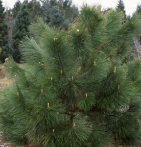 Pinus yunnanensis -  Rare Conifer Tree Seedling Plant in 9cm Pot