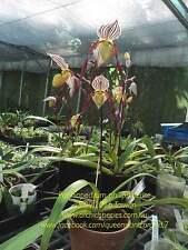 QOB Orchid Plant Species Multiflorous Paphiopedilum philippinense 90mm pot
