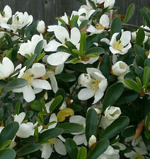 10 Michelia yunnanensis seeds * Very Fragrant * Shrub Evergreen CombSH