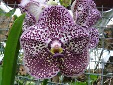 Orchid Flask Vanda Kulwadee Fragrance Black  Spot 25+ Plants