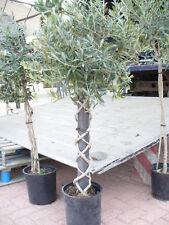 Olivenbaum mit gedrehtem/geflochten Stamm (mehrere Varianten siehe Fotos)