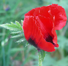 Persian Poppy Seeds : Papaver Bracteatum : Iranian Poppy