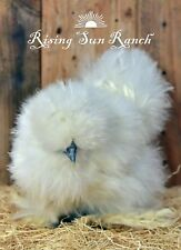 12+ Assorted Color Bearded Silkie/Satin And Frizzled Satin Hatching Eggs