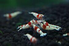 10+1 Crystal Red Shrimps, S-SSS+