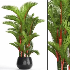 Cyrtostachys renda (C. lakka) Lipstick Palm - FRESH HARVEST 2020 - 10 seeds