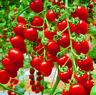 Bonsai Tomato Plants Delicious Cherry Garden Vegetables Potted NEW 100 PCS Seeds