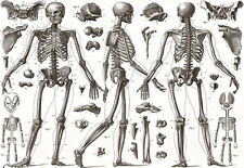 ART POSTER-Os humains - 1850-MEDICAL-Anatomie d'impression A3