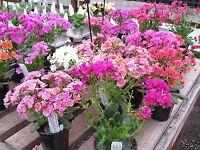 Lewisia Seeds Sunset Strain (Lewisia Cotyledon) 50 FLOWER SEEDS