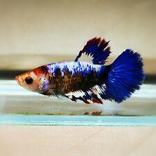 "Live Betta Fish - Female Halfmoon -""Koi Candy Fancy"" Betta High Quality (QJUL8)"