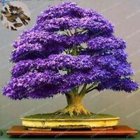 100% True Japanese Purple Maple Bonsai Tree Cheap Seeds 20 Seeds / Pack Very Bea