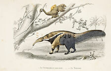 """Travies's """"Oeuvres Completes"""" - """"LE FOURMILLIER"""" - Hand Colored Engraving -1853"""