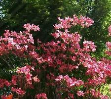 Cornus florida rubra Northern Red Dogwood 10 seeds