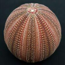 Superb quality Holopneustes purpurascens 53.2 mm Aus sea urchin