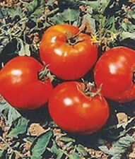 """Abe Lincoln Tomato *Heirloom* (50 Seed's)  """" FREE SHIPPING"""" <NON GMO>"""