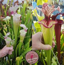 22) Pack of Sarracenia seeds 2020/2021, carnivorous plants rare
