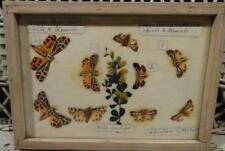 Incredible Victorian Butterfly Collection Ca. Early 1900's (4) Display Cases!