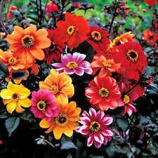 Flower seed - Dahlia Bishops Children