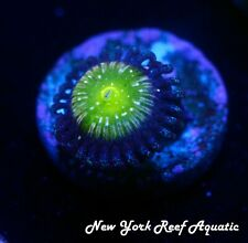 New listing New York Reef Aquatic - 0523 D2 Frozen Apple Zoanthid Wysiwyg Live Coral