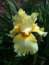 Tall Bearded Tb Iris New Moon Yellow White Plant Perennial Rhzome