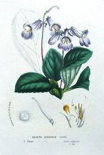 CHIRITA SINENSIS, CHINA, Van Houtte, Antique Botanical Flower Print 1845