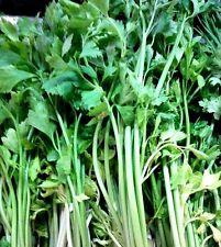 celery 7500 seeds, Thai vegetable, plant, organic, tropical, Chia Tai, farming