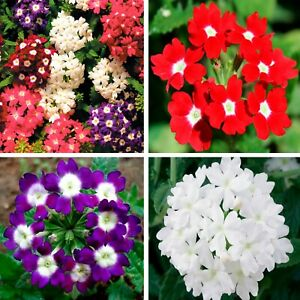 Seeds Verbena Herb of the Cross Hybrid Mix Red Purpl White Flower Annual Ukraine
