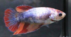 Pet Betta Plakat Fight Fish Live Aquariu Fancy Nemo Halfmoon Premium Female HM A