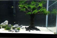 Freshwater  aquarium tree for planted tank  live plant  Aquabonsai