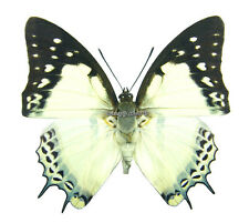 Unmounted Butterfly/Nymphalidae - Polyura nepenthes nepenthes, male, China