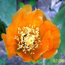"""Kaktus FEIGENKAKTUS """"Opuntie"""" Früchte sehr groß, gelbe Blüten, Früchte essbar"""