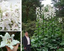 frostharte Baumlilien-Knollen schnellwüchsige exotische Pflanzen für den Garten
