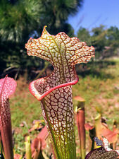Carnivorous Pitcher Plant: Sarracenia leucophylla with Location Data