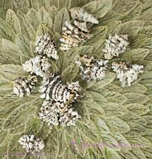 Wellhornschnecke, schwarz weiss, natur, 5-6cm, 400g Schnecke maritime Dekoration