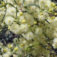 ACACIA victoriae seeds(A 19)