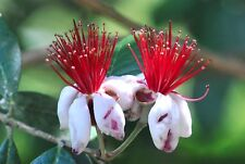 1 PLANT Feijoa sellowiana BEAUTIFUL FLOWER evergreen RARE