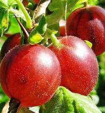 3 Gooseberry 'Captivator' Plants / Ribes uva Crispa, Multi-stemmed, 3-5 Branches