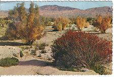Penstemmon Firebush And Smoke Tree Arizona And California Desert 1978