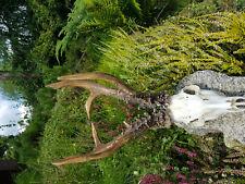 Kopia parostków kozła syberyjskiego