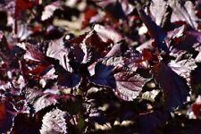 100 Graines de Tomate Robin Rouge Naine hative en Pot