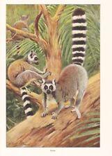 Katta (lemur catta) lémures Wilhelm Kuhnert impresión en color 1953