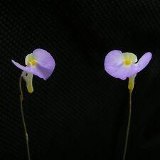 Carnivorous Terrestrial Utricularia Bladderwort Collection 5 Plants