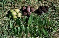 Black Walnut, Eastern Black Walnut (Juglans nigra) 5 seeds