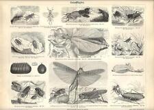 Stampa antica INSETTI ORTOTTERI Insecta Orthoptera Grillo 1890 Old antique print